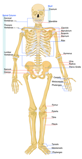Preschool human body activities and lessons - the Skeletal system
