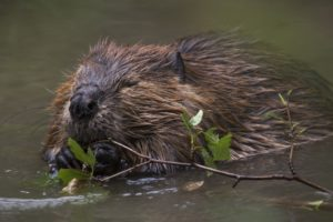 Beaver Wars: The Virtues of the Animal North Americans Fought for Centuries