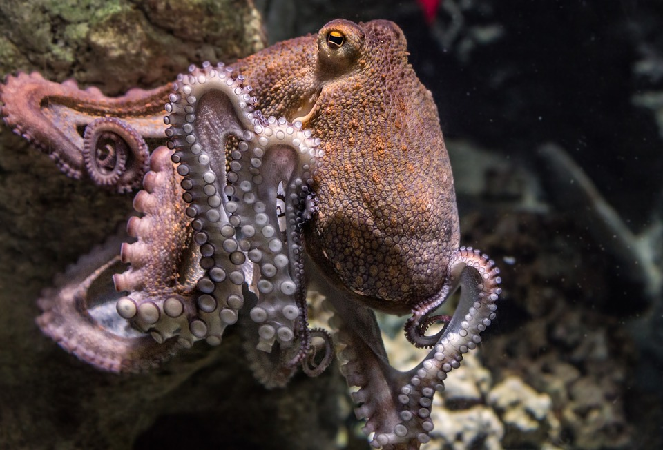 The Octopus and Soft Robotics