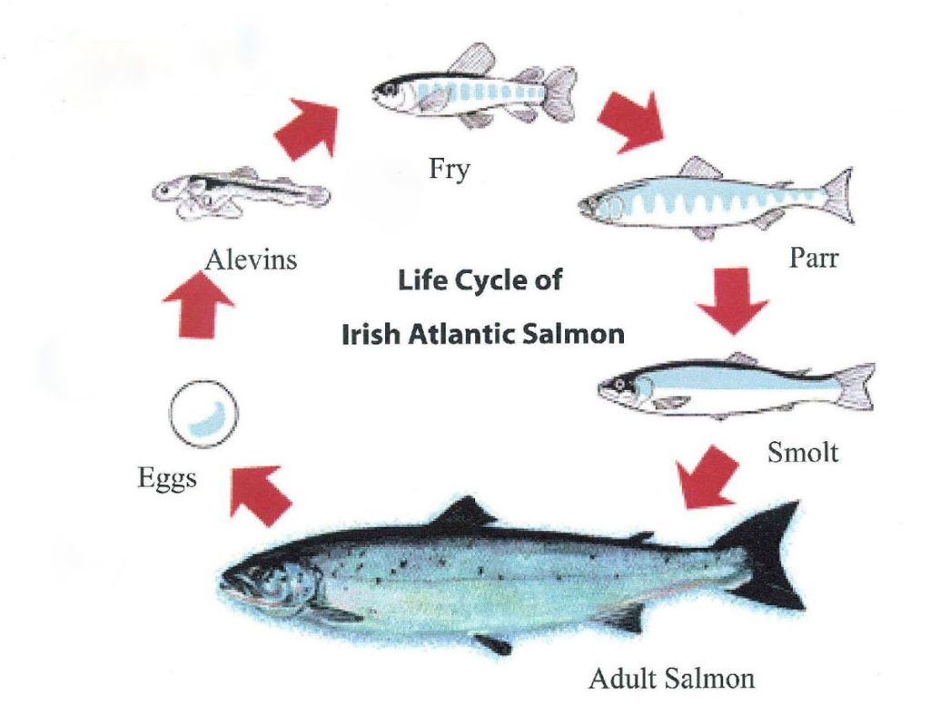 Going Against the Grain: All About Salmon Spawning