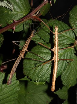 Walking Sticks and Other Camouflaged Insects